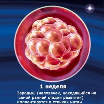 Развитие человеческого эмбриона по неделям фото