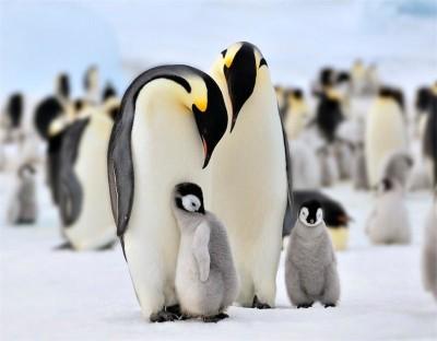 Imperatorskie-pingviny-Druzhnaya-semeyka